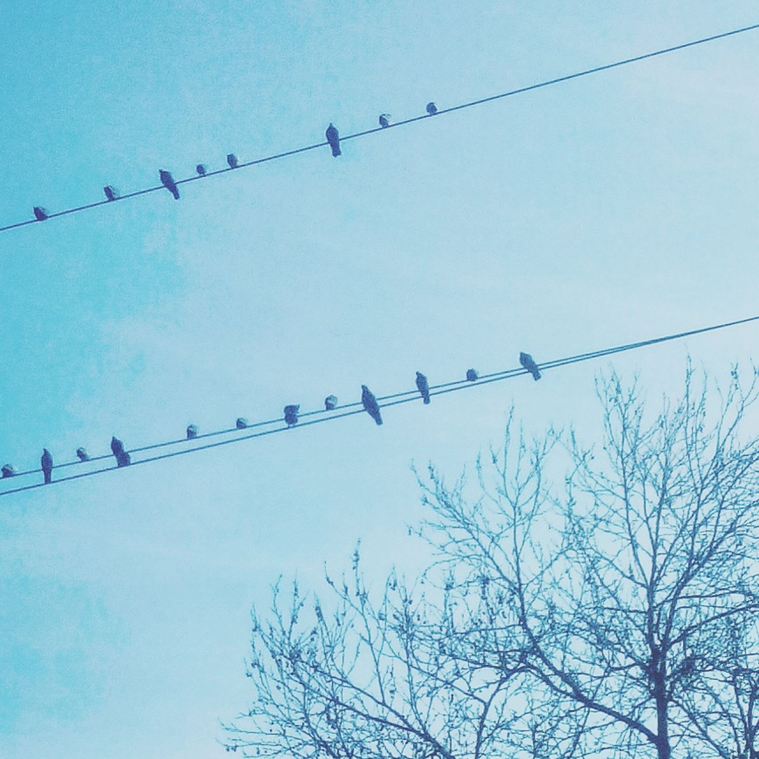 bird, low angle view, animals in the wild, animal themes, wildlife, flock of birds, silhouette, flying, perching, clear sky, cable, power line, sky, connection, nature, blue, tree, outdoors, medium group of animals