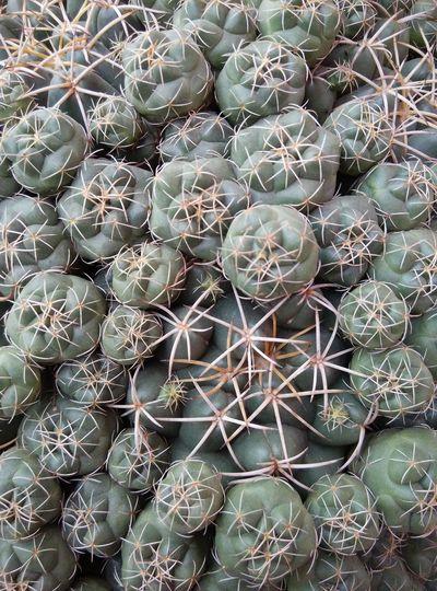 Full frame shot of barrel cactus
