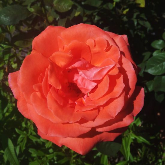 A rose from my mother's garden... Relaxing Beautiful Colours.... Enjoying Life Nature Flowers Taking Photos