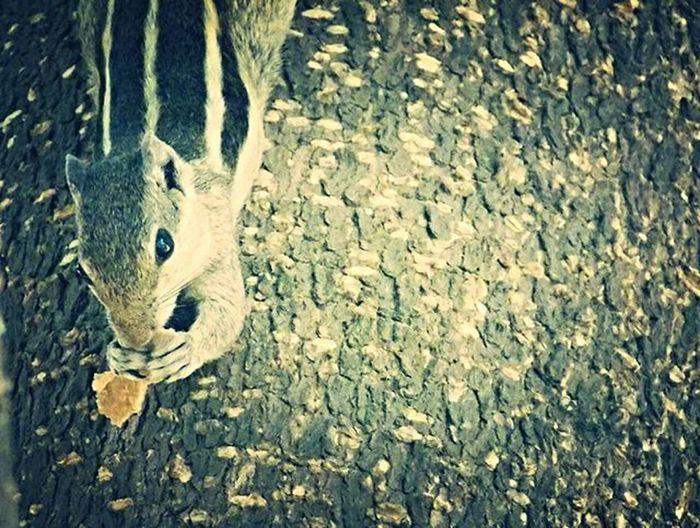 Squirrel Eating Looks Eyes Squirrelsofinstagram Earlymorning  Letmeeat Dontdisturbme Camclick MyClick Shaukbahutbadicheezhai