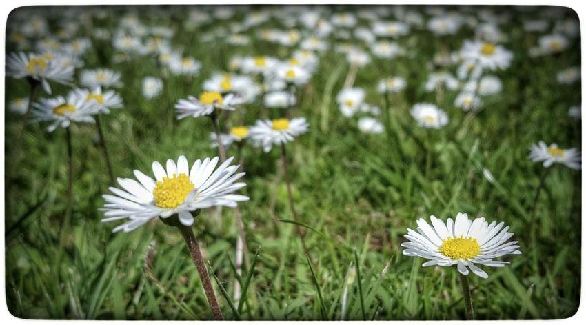 But you'll look sweet... Flowers Daisy 🌼 Daisy Flower Flowers,Plants & Garden UK Garden Springtime