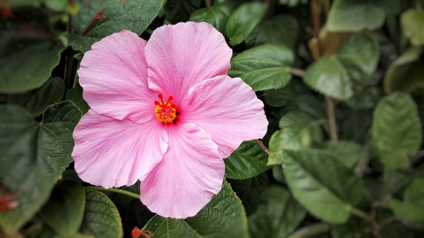 Flower Leaf Plant Pink Color Flower Head Nature Beauty In Nature Close-up Outdoors Freshness Periwinkle Fragility No People Day Plant EyeEmNewHere Backgrounds Fort Collins Colorado Colorado Photography Loveland Loveland Colorado Fort Collins, Co Fort Collins