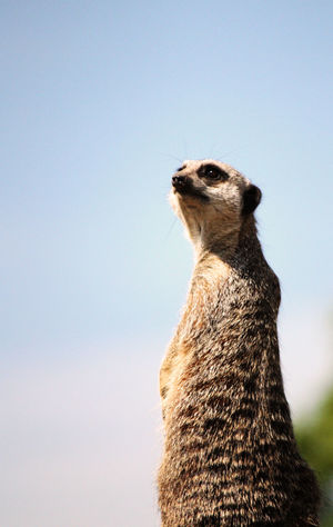 Animal Themes Focus On Foreground Low Angle View Mammal Meerkat No People One Animal Outdoors Wildlife Zoo Zoology
