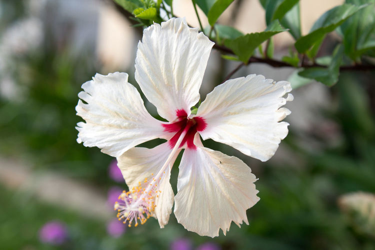 Beauty In Nature Blooming Close-up Day Flower Flower Head Focus On Foreground Fragility Freshness Growth Nature No People Outdoors Periwinkle Petal Plant White Color