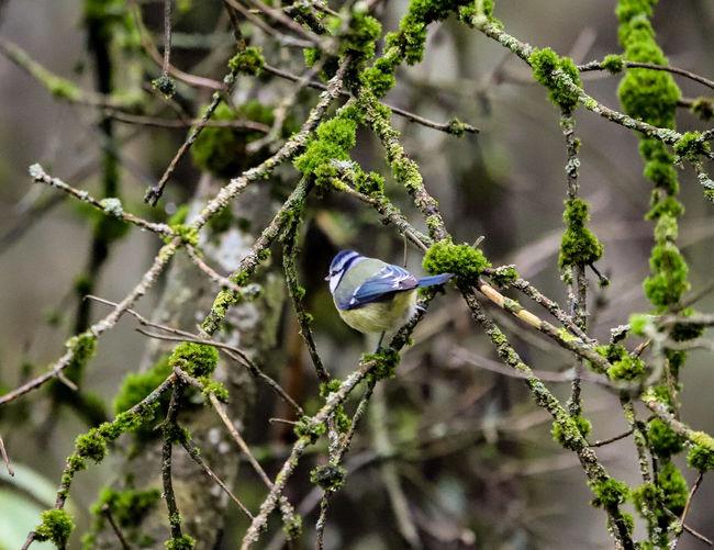 Blau Meise