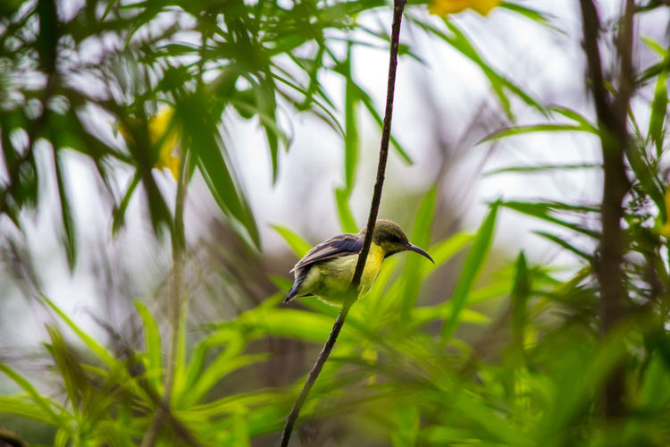 This tiny cute is very active. Animal Wildlife Bird Nature Selective Focus Beauty In Nature Perching Tree Sunbird Purple Sunbird
