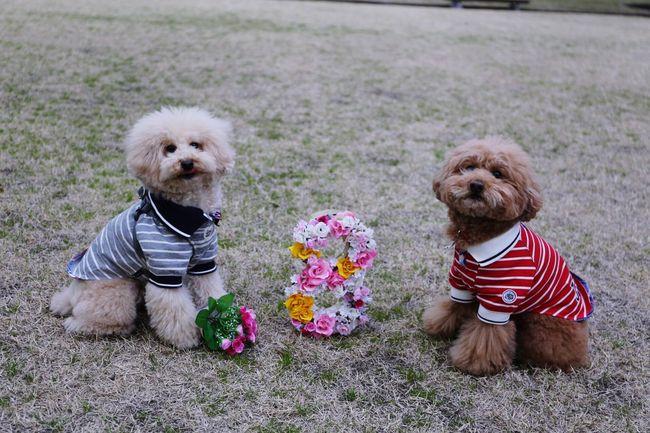 Japan Cutedogs I Love My Dog DogLove My Toypoodle Japon Toypoodle Birthday Present HappyBirthday Enjoying Life