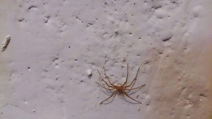 Spider Araña Dead Spider Yellow Spider