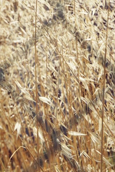 Looking Through Fence Full Frame Close-up Of Crop Agricultural Scene Focus On Background Outdoor Photography Toscany Summer Valdichiana, Toscany Sony A6000 No People Cereal Plant Crop Field