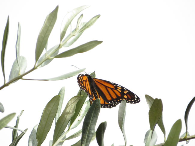 Monarch Butterfly Insect Nature Olive Tree Animal Wing Animal Wildlife Close-up Animals In The Wild No Edit/no Filter Butterfly - Insect Beauty In Nature Plant Day White Background Leaf In My Garden