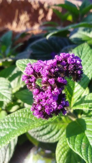 Scent Delicious Naturlover Heliotrope🍀 Essence Of Summer Vanilleblume Nature Hi! Hello World Nature Photography Taking Photos Garden Photography Close Up Outdoor EyeEm Nature Lover Iphonephotography Flower Pink Flower