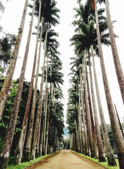 Caminho das Palmeiras- Jardim Botânico Tree Palm Tree Growth Day Outdoors No People The Way Forward Nature Low Angle View Clear Sky Beauty In Nature Sky Jardimbotanicorj RJ VisitRio Cidademaravilhosa Porainorio Ondeirnorj