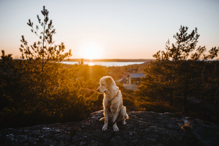 Dog sitting on rock against sky during sunset