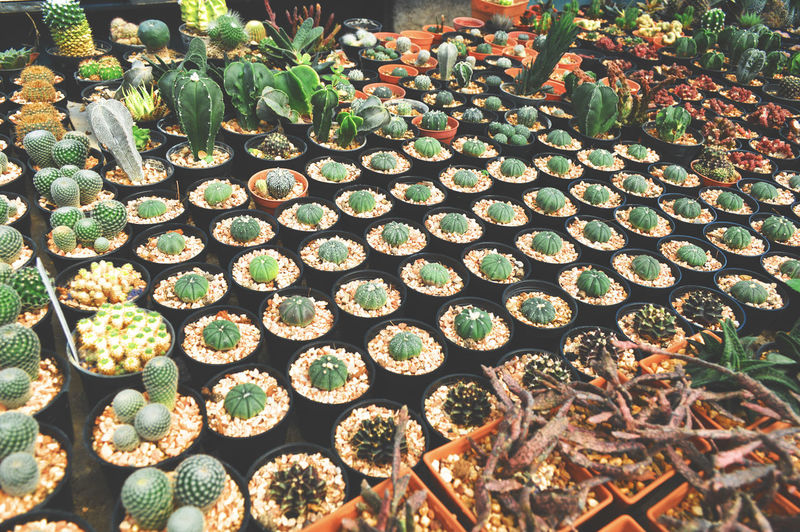 Abundance Arrangement Beauty In Nature Botany Cactus Close-up Day Freshness Green Color Growth High Angle View Large Group Of Objects Nature No People Outdoors Plant Plant Nursery Potted Plant Succulent Plant Thorn