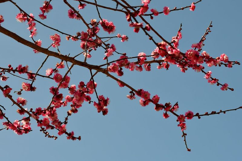 Plum Blossom Japanese Plum Blossom Tree Low Angle View Sky Branch Plant Growth Nature Clear Sky No People Freshness Flower Day Springtime Beauty In Nature Outdoors