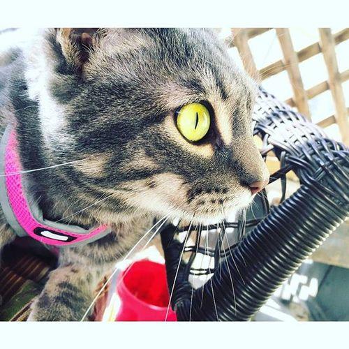 """I HEARD A NOISE"" Walking my cat is always an adventure. Catsofinstagram Cat Kitty Instacat Cats Catsagram"
