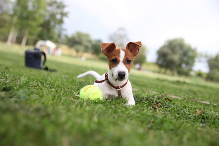 Portrait of dog with tennis ball on grassy field