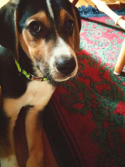 Firstpuppy Rescuedog Decker Holyterror Sweet&innocent