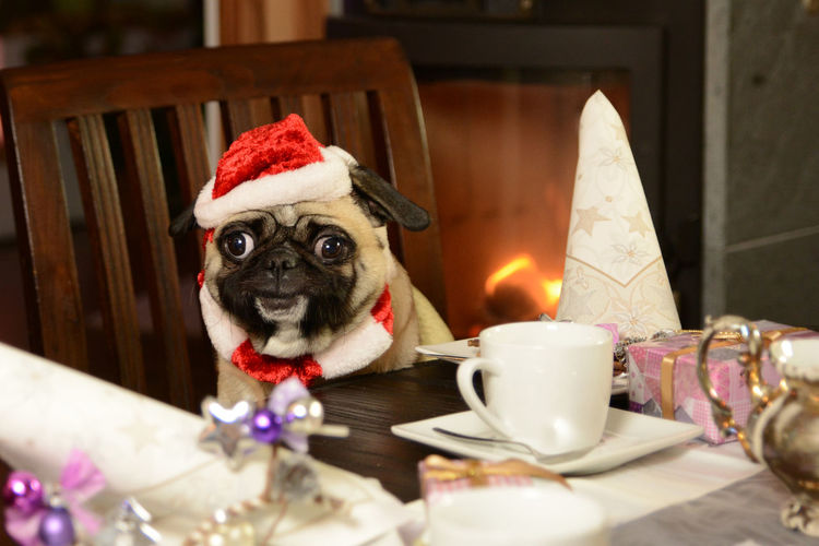 Christmas covered table with smiling pug Chimney Coffee Board Covered Table Presents Pug Santa Claus X - Mas Animal Animal Themes Candle Cap Celebration Christmas Christmas Decoration Dog Festively Fire Flame Happily Illuminated Indoors  Laugh No People Smile Table The Creative - 2018 EyeEm Awards