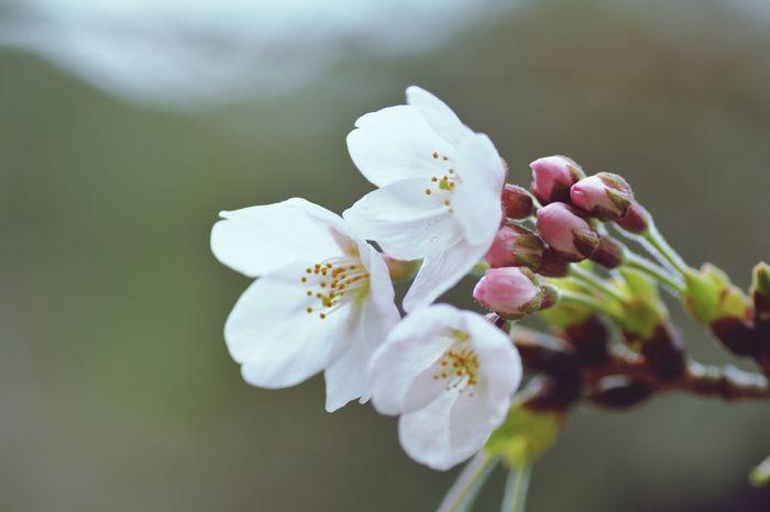 EyeEm 2015 Nikon D5200 Ritsurin Garden 栗林公園 Japan 桜 さくら Sakura サクラ TAMROM