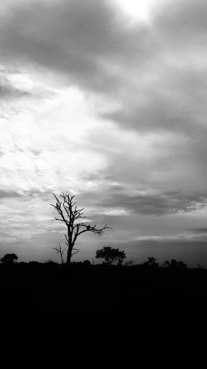 Vulture waiting for its pray. Tree Silhouette Sky Cloud - Sky Outdoors Nature No People Plant Growth Landscape Day Beauty In Nature Rural Scene Agriculture Bare Tree Scenics Sunset Branch Newest Talent The Week On Eyem Best Photos Bird Of Prey