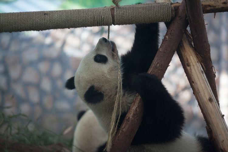 Panda hanging on log in zoo