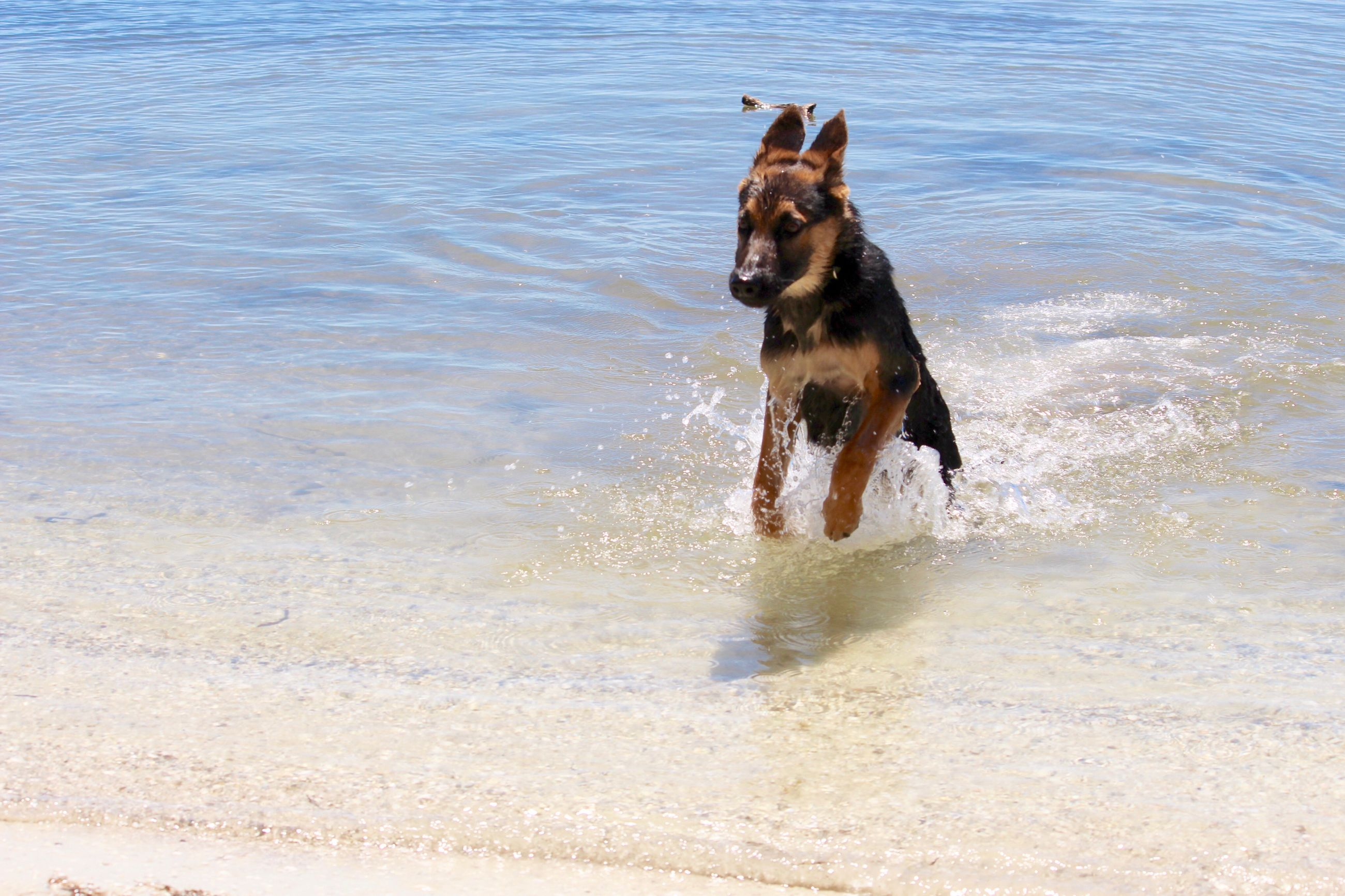 pets, dog, domestic animals, mammal, one animal, animal themes, water, pet collar, wet, sea, splashing, motion, beach, running, canine, waterfront, day, outdoors, nature, mouth open