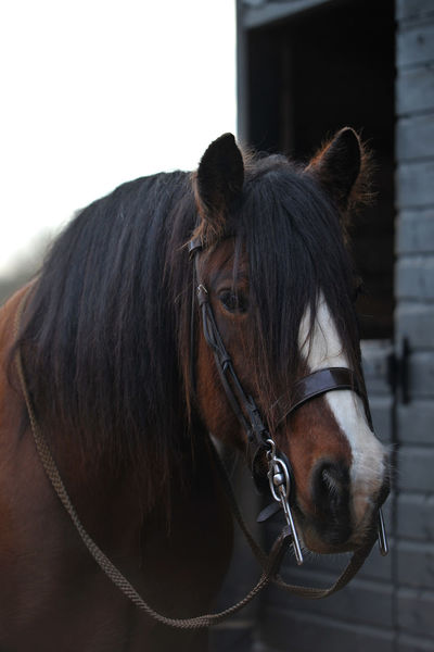 Alert Bite Blaze Bridle Brown Cob Dark Draught Driving Bit Ears Forward Equine Friend Friendly Heavy Horse Kind Face Leather One Outdoors Portrait Reins Single Stable Tack Tacked Up