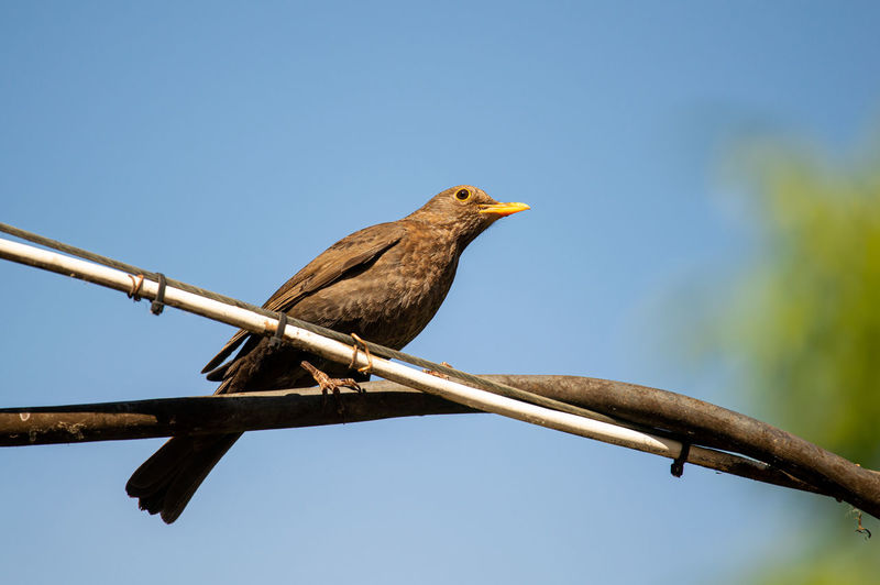 Mother bird... Vertebrate Bird Animal Themes Animal Animal Wildlife Animals In The Wild Perching One Animal Sky Low Angle View Clear Sky Nature No People Day Branch Copy Space Outdoors Focus On Foreground Tree Plant Turdus Merula Blackbird Birds Avian Garden Birds Bird Photography Garden Wildlife Photography