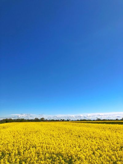 Field Colza Rapeseed Yellow Nature Sky Horizon Blue Beauty In Nature Flower Landscape Scenics - Nature Land Environment Plant Tranquility Agriculture Rural Scene Oilseed Rape Tranquil Scene Flowering Plant Copy Space Freshness No People Springtime Outdoors Flowerbed