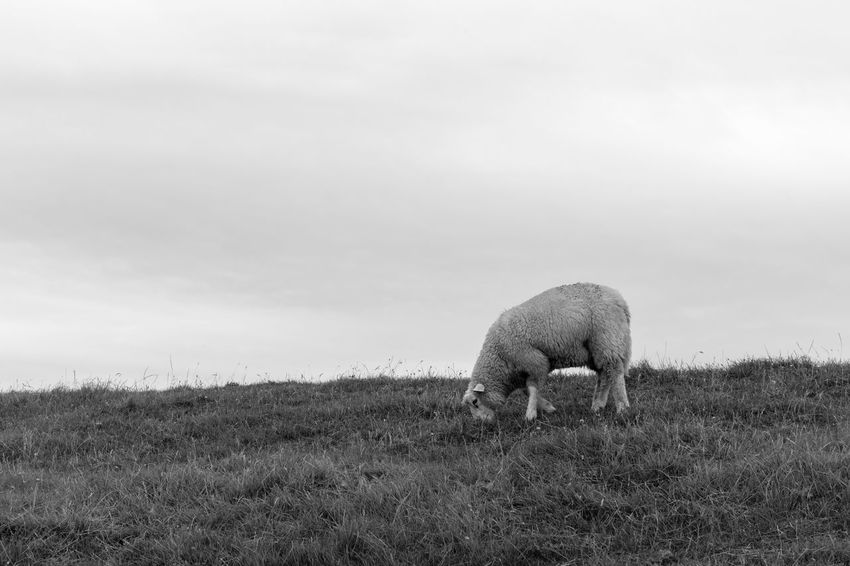 Deich  Animal Themes Animal Wildlife Animals In The Wild Beauty In Nature Black Blackandwhite Photography Day Domestic Animals Field Full Length Grass Grazing Landscape Mammal Nature No People Northsea One Animal Outdoors Sheep Sky
