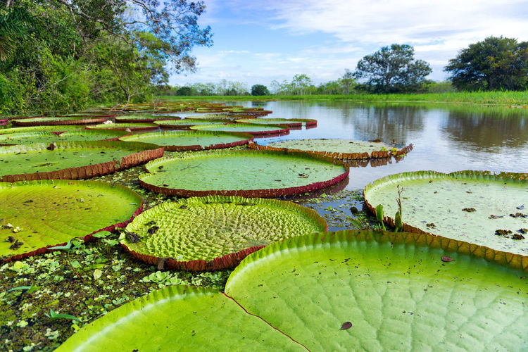 Victoria Regia, the largest lily pad in the world in the Amazon Rain Forest near Iquitos, Peru Amazon Amazonas Amazonia America Conservation Forest Iquitos  Jungle Lake Landscape Nature Peru Plant Rain Rainforest Reflection River South Tourism Travel Tropical Vegetation Victoria View Wildlife