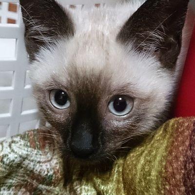 맑은 눈망울 냥이 다들 불금 보내시나요? 전 방콕이네요 ㅠ.ㅜ 일상 고양이 고냥이 Cat 냥이 냥 냥스타그램 고양이그램 고냥이그램 방콕 불금따위 20150424