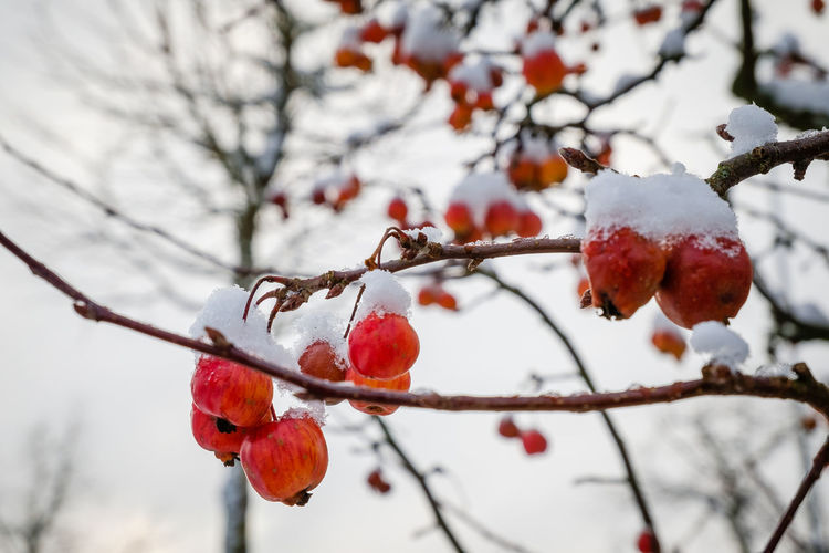 Colors_of_day Shotwithlove Moody_nature Outdoor_photograhy Fujifilmdeutschland EyeEm Selects Fujinon16-50mm Fujifilmxm1 Fujifilmglobal Jacquelineschreiber Eyeemoninstagram Fiftyshades_of_nature Tv_allnature Magic_shots Tree Branch Winter Fruit Nature Snow Beauty In Nature Close-up Freshness Cold Temperature No People Day Outdoors Focus On Foreground Red