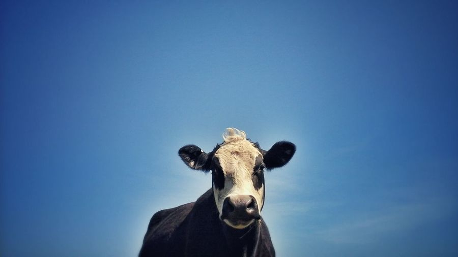 Portrait of cow against sky