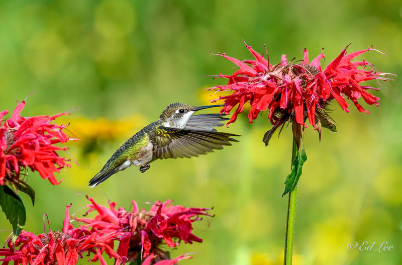 Close-up of red hummingbird on flower
