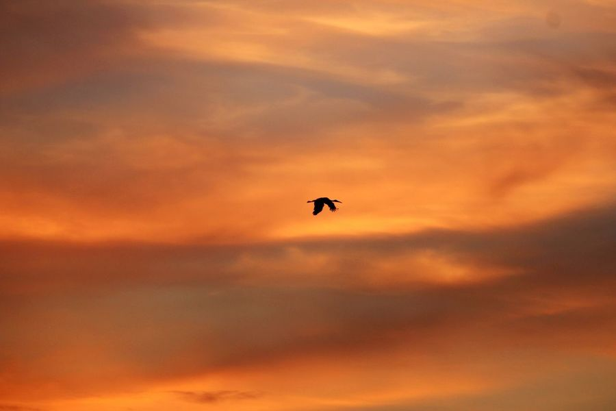 EyeEm Selects Flying Sunset Animals In The Wild Animal Wildlife One Animal Sky Outdoors Silhouette Animal Themes Bird No People Nature Low Angle View Day Beauty In Nature Bird Of Prey Germany🇩🇪 Stork Storch Störche Animals In The Wild Beauty In Nature Pet Portraits