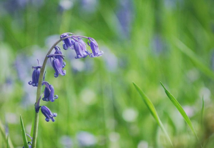 Bluebells Bluebell Woods Scotland Plant Growth Purple Flower Beauty In Nature Close-up Nature Flowering Plant Freshness Vulnerability  Focus On Foreground Fragility No People Green Color Day Tranquility Outdoors Selective Focus