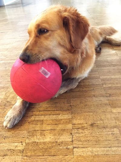 Dog Ball Playing Hardwood Floor Golden Retriever Lexieunleashed