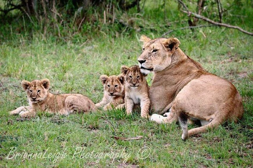 Somthing I will never forget ☺?? Africa Kenya Travel Travel Photography Lions Cubs  Bigcats Safari Follow Me Wildlife