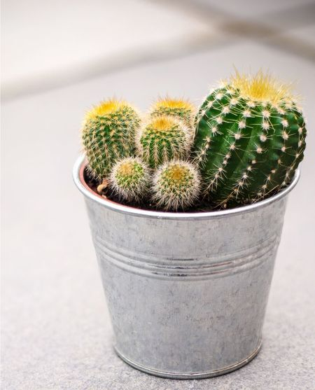 Cactus Thorn Barrel Cactus Spiked Growth Potted Plant Plant Nature Danger Close-up No People Outdoors RISK Day Beauty In Nature flowers close up