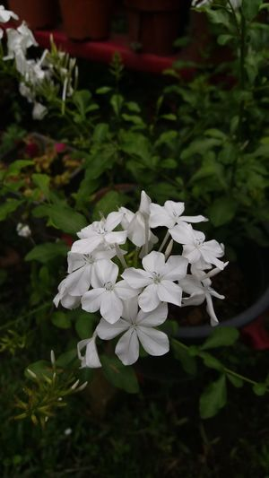 plumbago White Plumbago Garden Photography Garden Flowers Natural Beauty Naturesbeauty Gardenflowers Flowers,Plants & Garden Flower Collection Flowers In My Garden Flowers For Passion! Flowersoftheday Nature Beauty Plant Close-up Nature Leaf No People Growth Outdoors