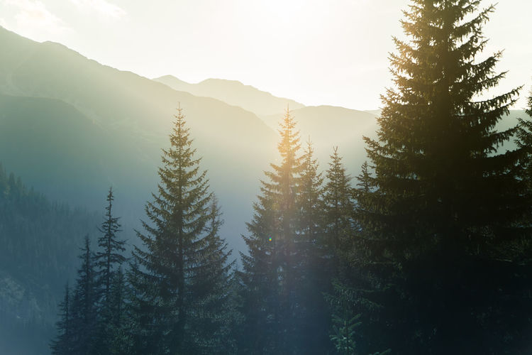 Pine Trees On Mountains Against Sky