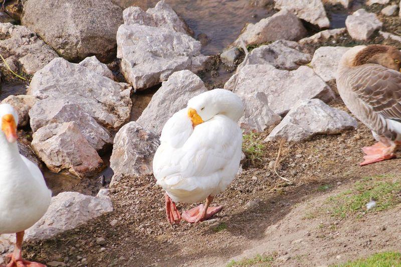 Goose Outdoor