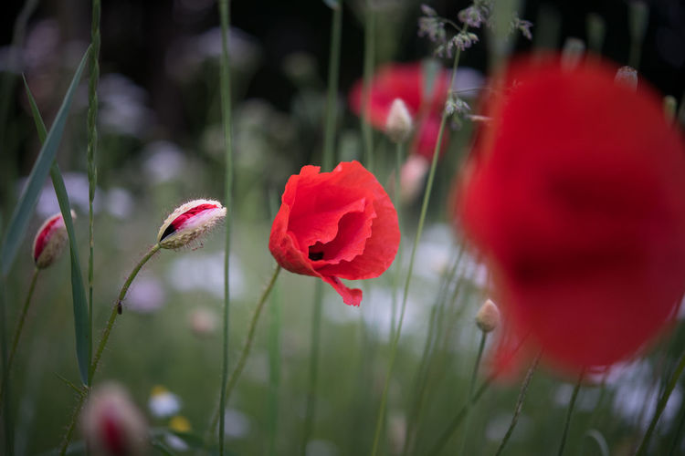 Close-up of red poppy flowers blooming outdoors