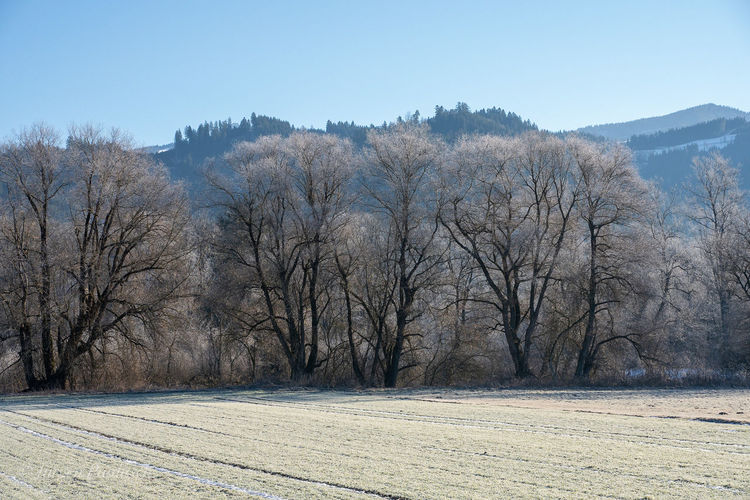 Bare trees on field against clear sky during winter