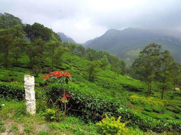 Munnar, Kerela, India India Kerela Munnar Incredibleindia Beautifuldestinations Landscape Travel Canon_official Canonsx50 Indiatravel Indiaclicks Canon_photos