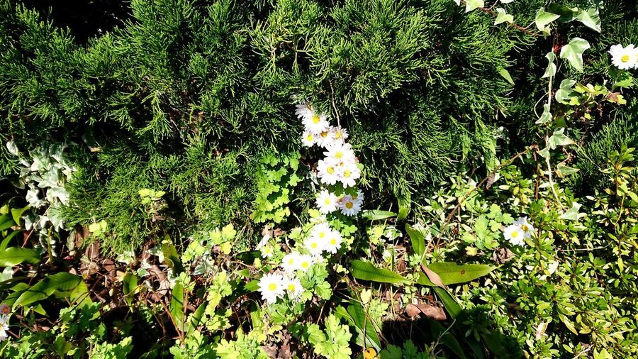 菊 Flower Head