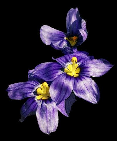 Black Background Close-up Flower Flowering Plant Inflorescence Petal Purple Yellow