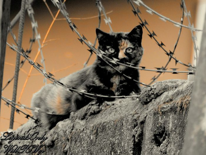 Cat in a fence